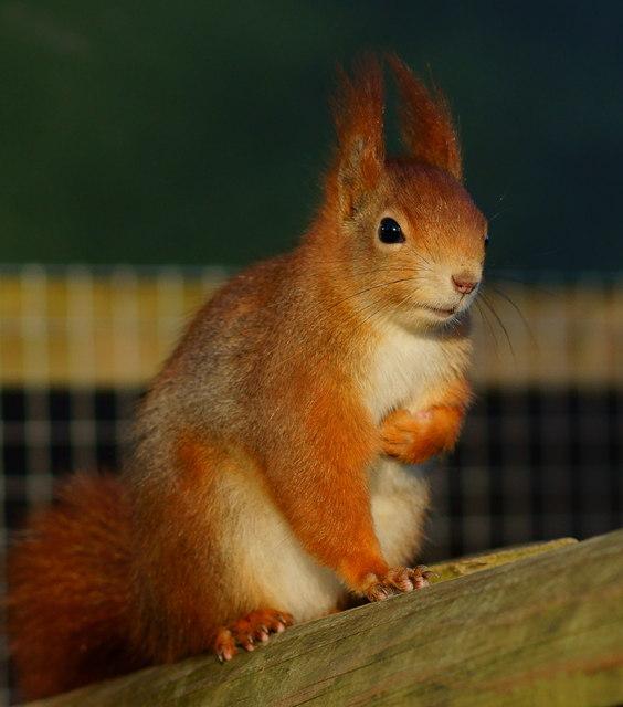 'Napoleon' Squirrel