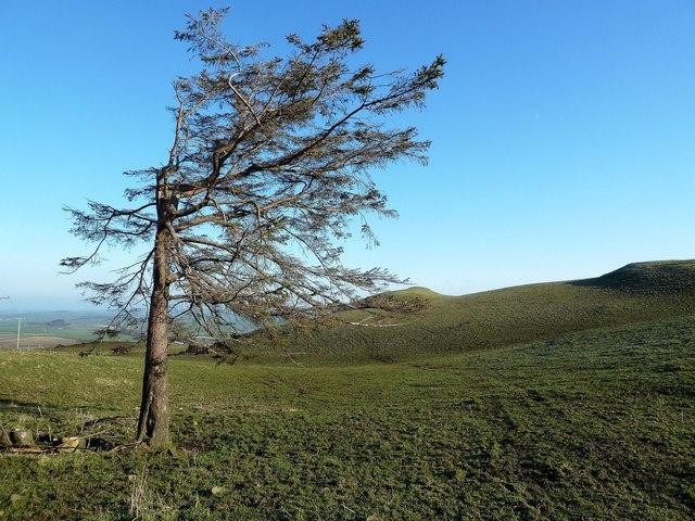 A Wind-Shaped Tree on Kildoon Hill