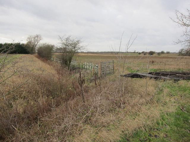 New hedge off Thornham Road