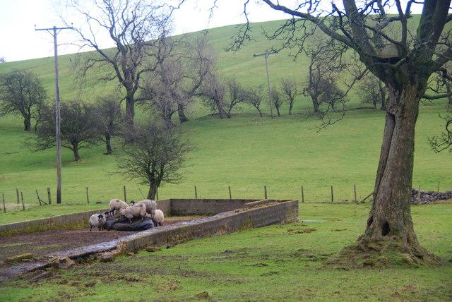 Sheep enjoying a silage bag at Town Hill Farm