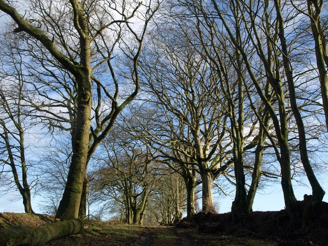 Avenue of trees, St Cyres' Hill