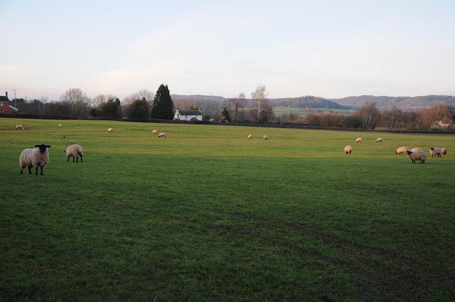 Field of sheep, Bishopstone