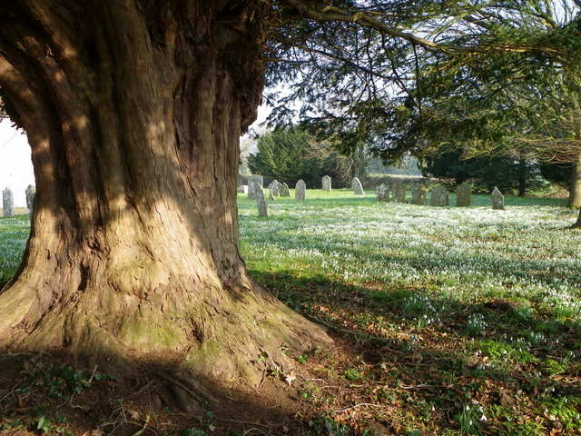 Snowdrops and yew tree, St George's Churchyard