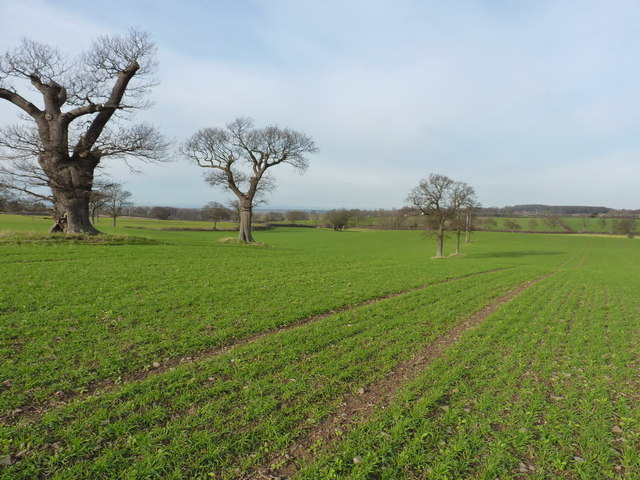 Oaks and winter wheat near Longden
