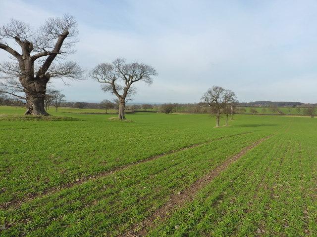 Oaks and winter wheat near Longden