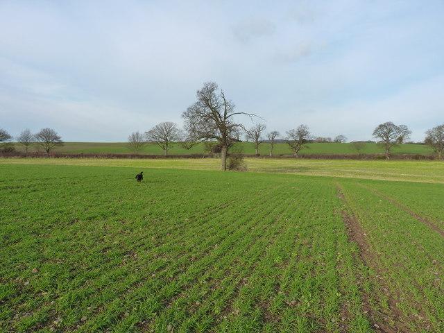 Properly daft dog in a field near Arscott