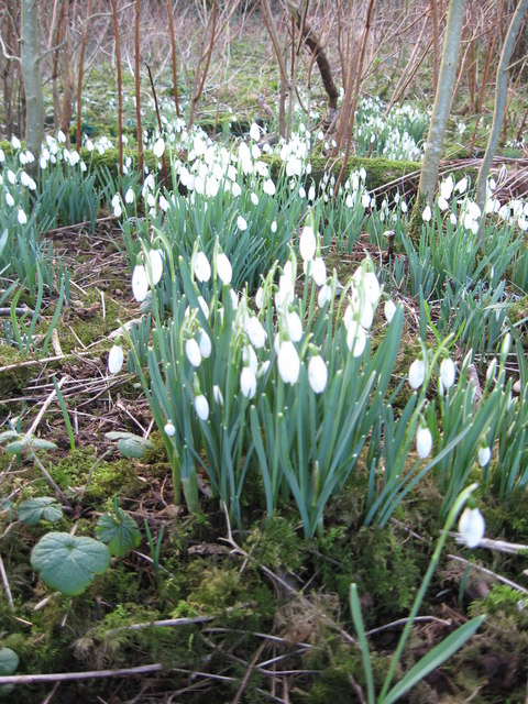 Snowdrops at Orbost