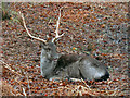 SJ7387 : Dunham Massey Deer by David Dixon