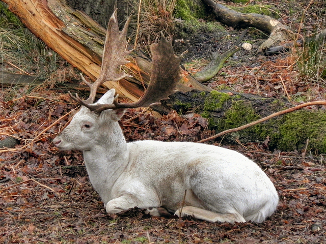 Albino Deer at Dunham Deer Park