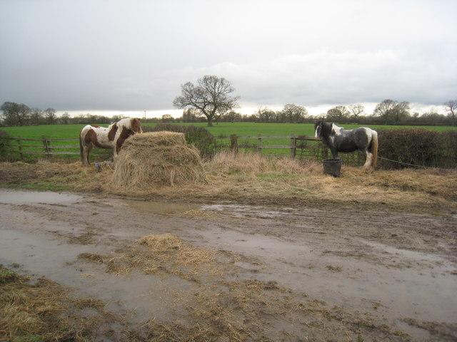 Horses grazing on Wood Lane