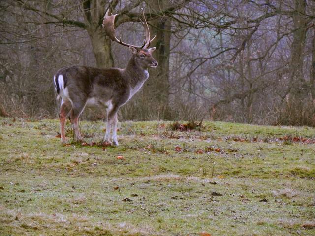 Stag, Dunham Park Deer Sanctuary
