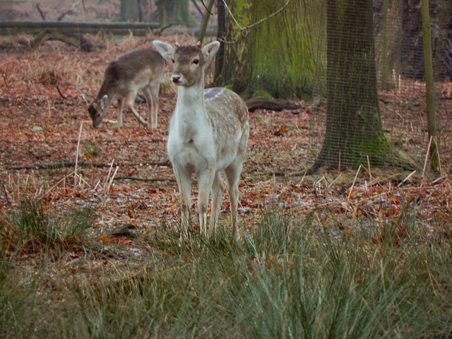 Young Deer at Dunham Park