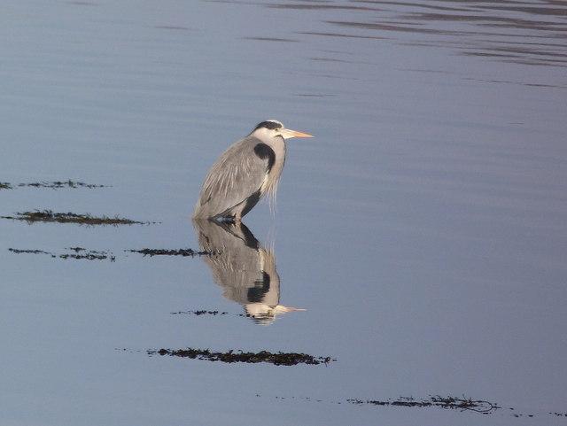 Heron at Loch Fleet