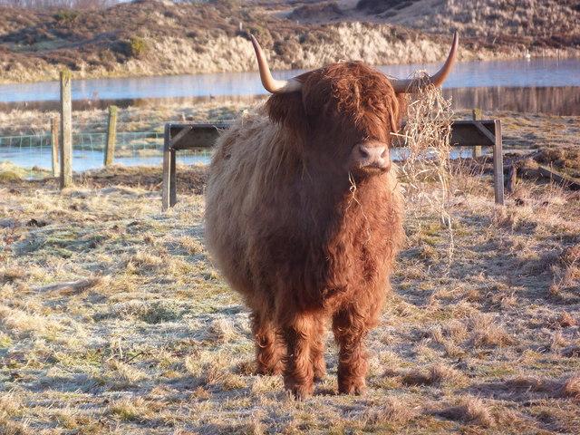 Highland cow by Loch Fleet