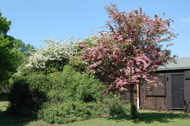 White and  pink Hawthorn Balmer Lawn