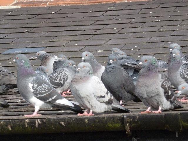 Alexandra Palace: pigeons on the café roof