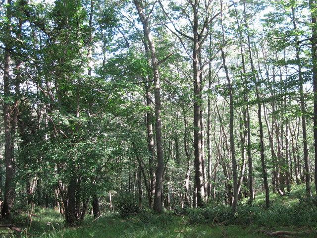 West Dipton Wood