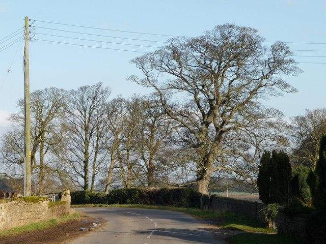 Winter tree alongside Bilham Lane