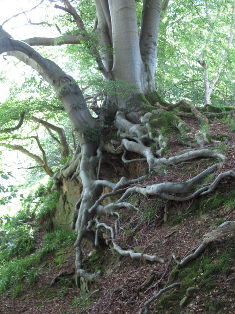 Exposed roots of a beech tree near Cat Crags