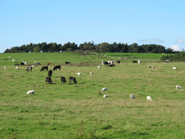 Cattle and sheep grazing below Currick Hill (2)