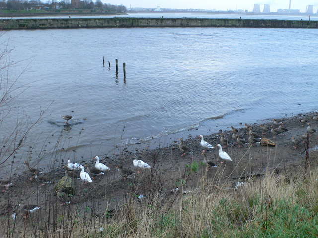 Ducks and Geese on the Mersey at Runcorn