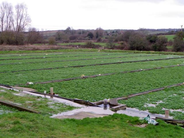 Watercress beds, Wimborne St Giles