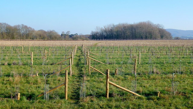 Footpath through a new orchard