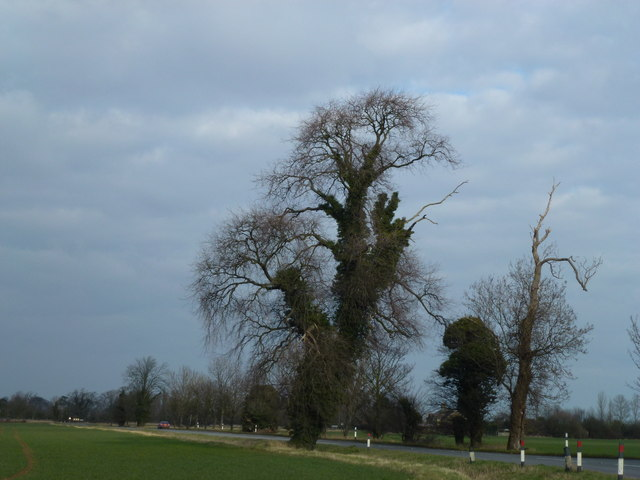 Trees on Whittlesey Road south of Thorney