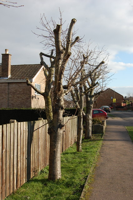 Pollarded Trees Rowan Tree Road