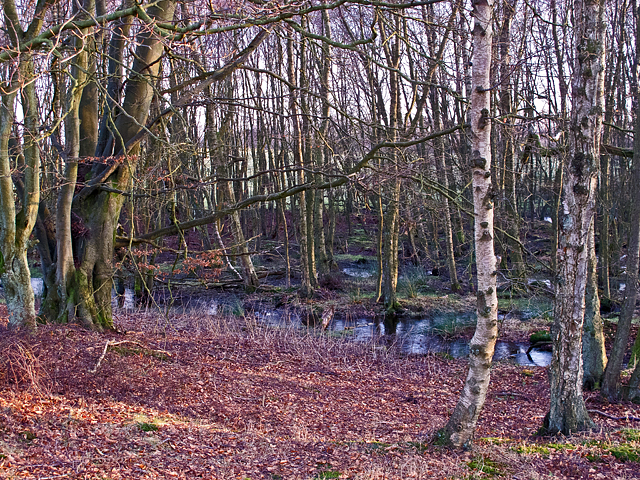 Birchwood near Cadgerford