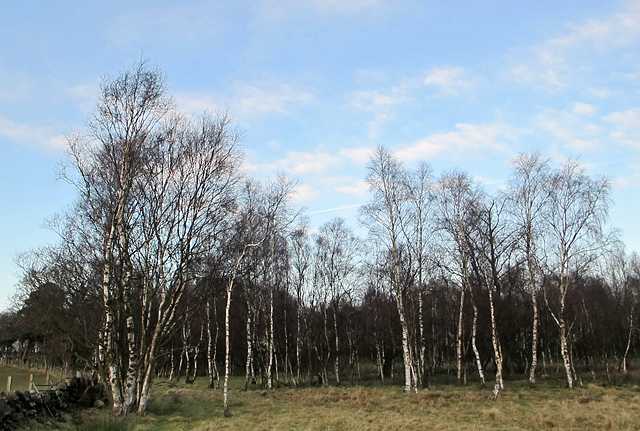 Birchwood near Piperpool