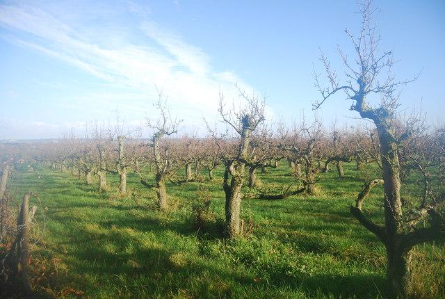Orchard, Wilson's Lane