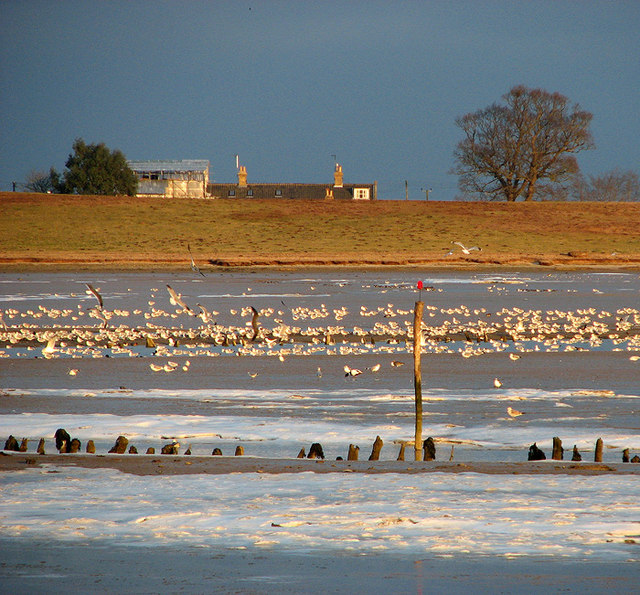 Sea gulls at Sandpit Covert Marshes