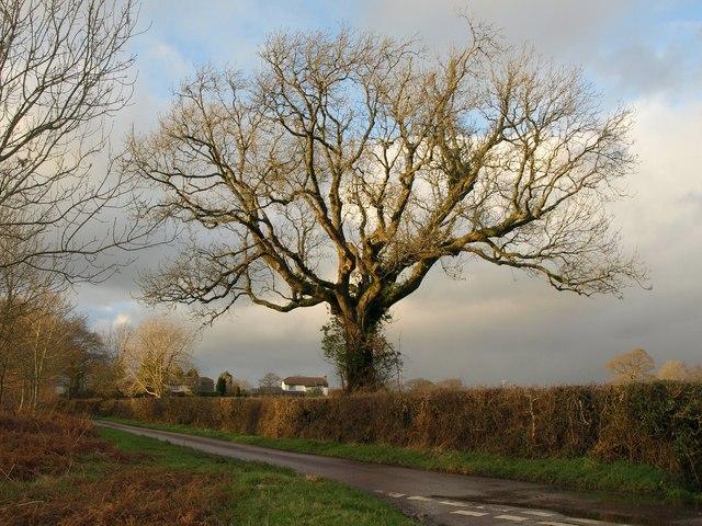 Oak tree near Jack's House