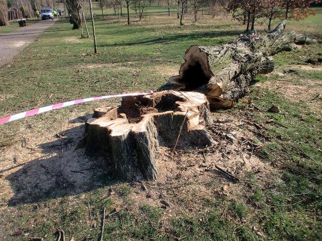 Felled Poplar Tree, Oakwood Park, London N14