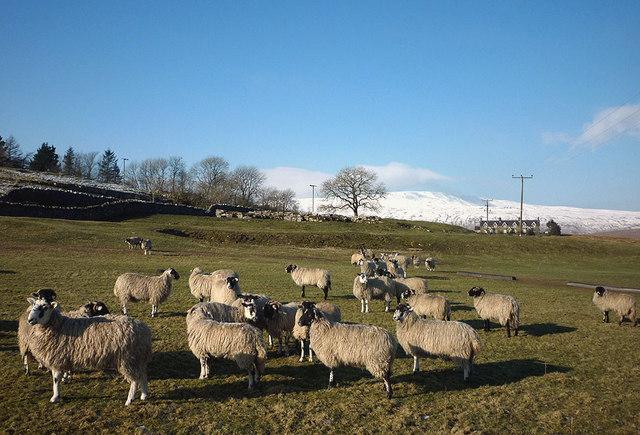 Sheep at Ashes Shaw Pasture