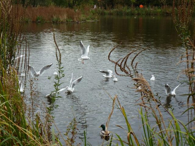 Birdlife on Cwmbran Boating Lake