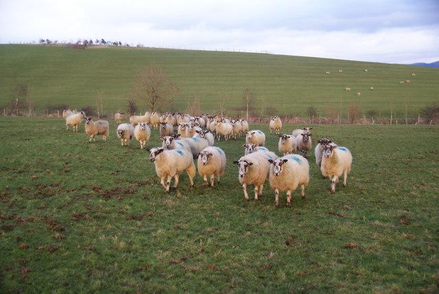 Sheep following me