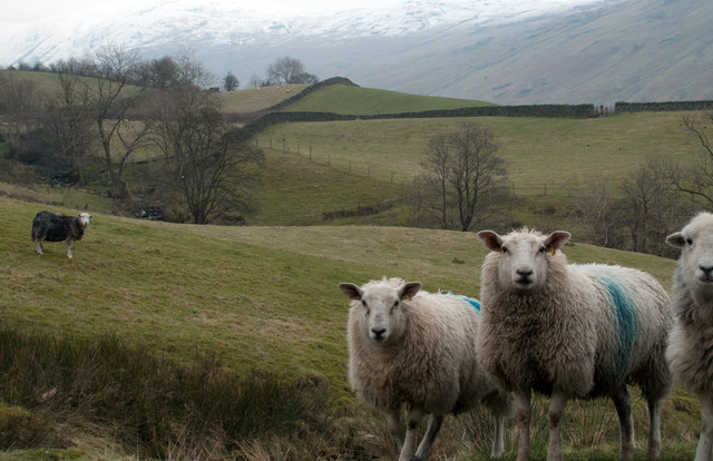 Fields with sheep below Troutbeck