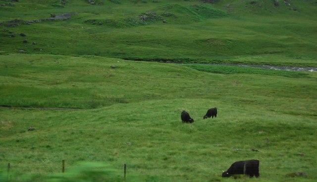 Cattle in Glencoe
