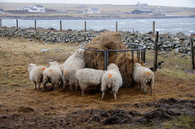 Sheep at a feeder in Uyeasound