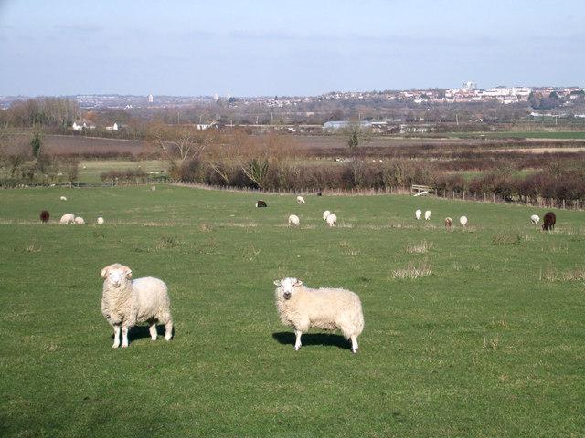 Sheep grazing near Elcombe