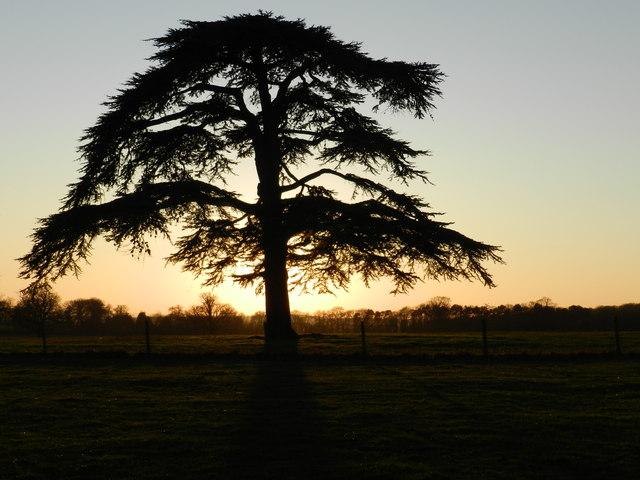 Pine tree at sunset, Hanbury Park