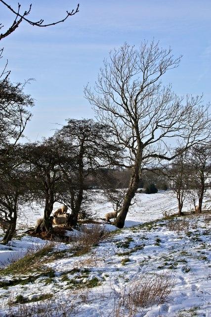 Sheep feeding, East Harlsey