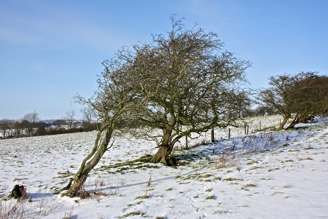 Windswept Bush, East Harlsey