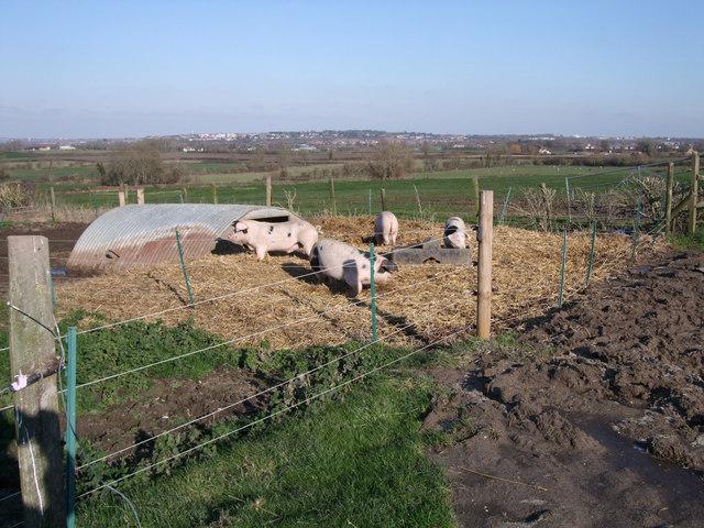 Pigs, Chilton Farm