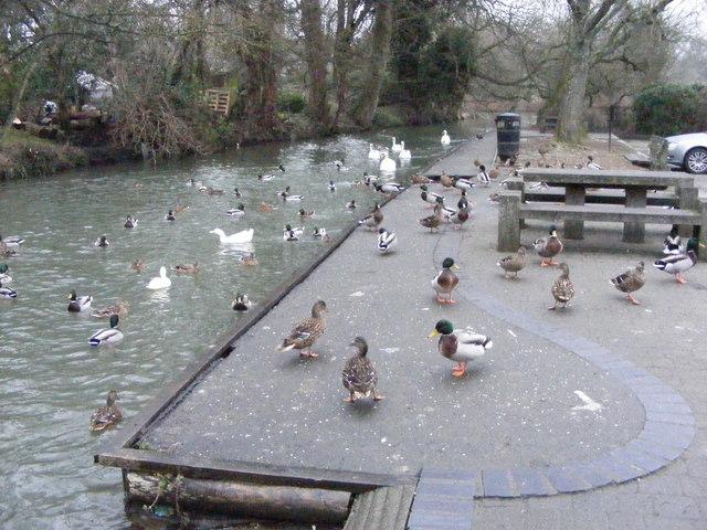 Burford Ducks