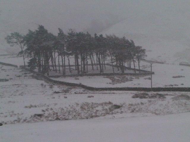 Enclosure of tall pine trees at Muchra