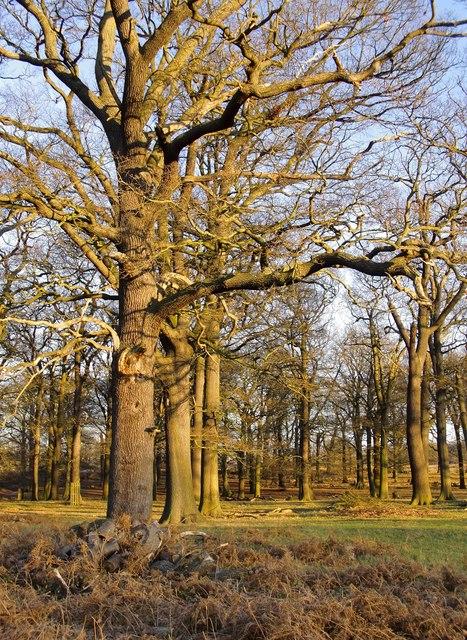 Oak trees in Conduit Wood, Richmond Park