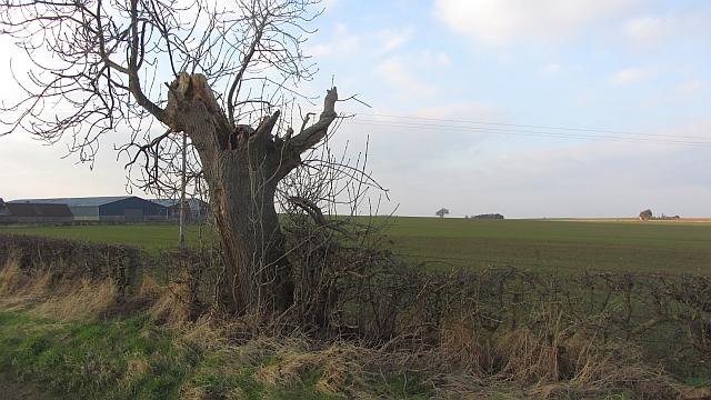 A battered ash, Coates
